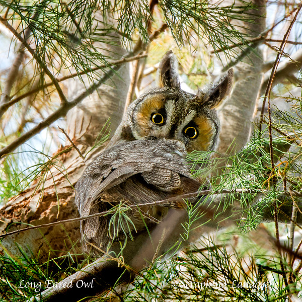 _DSC2614Face Long eared Owl.jpg