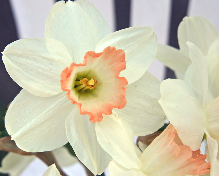 White Daffodil_4578.jpg