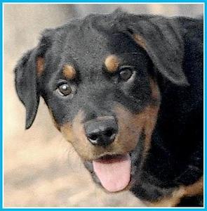 JACKIE (rottweiler pup GIRL)