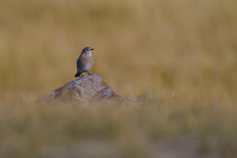 Mountain Bluebird Yellowstone _MG_4345.jpg