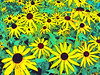 Close up view of a yellow cone flower garden. Abstract photograph painting artwork photography photo photographs Abstract photograph painting artwork photography photo photographs.