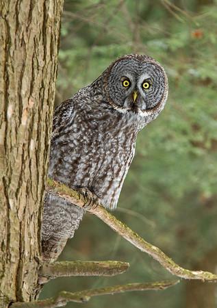 Great Gray Owl Irruption 2013