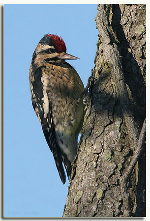 Woodpeckers, Creepers