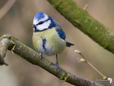 Blue Tit Perched