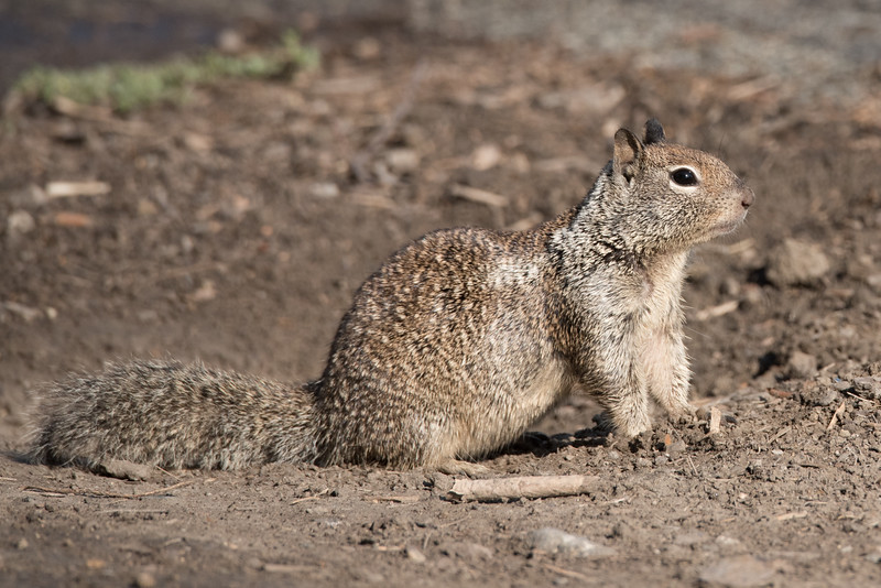 California Ground Squirrel on alert by the entrance to its burrow.
