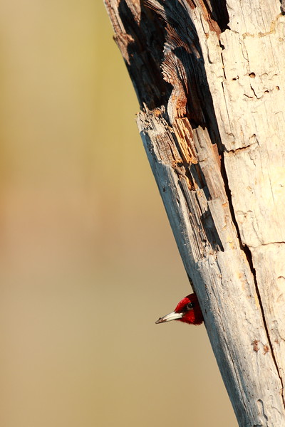Red-headed Woodpecker (Melanerpes erythrocephalus) checking to see if the coast is clear. Newport News, VA. © 2006 Kenneth R. Sheide