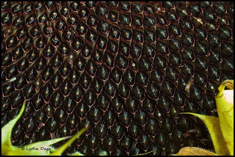 Sunflower Symmetry in Motion