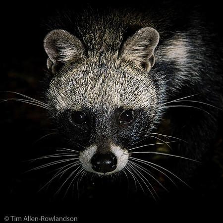 Civet & Honey Badger