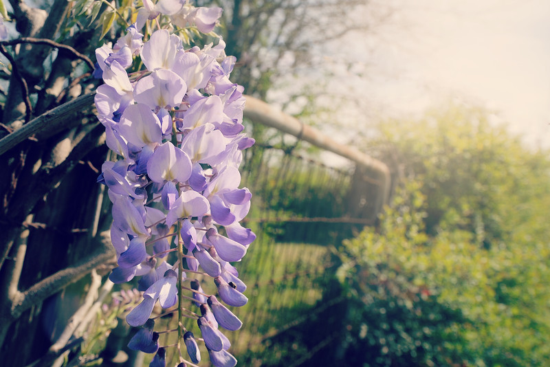 The wisteria is beginning to bloom . . .