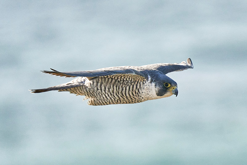 Peregrine Falcon near Point Reyes Lighthouse