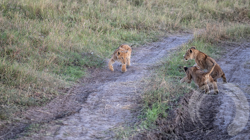 Cubs at Play