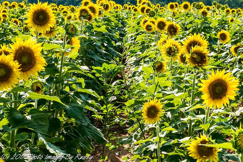 Sun Flowers-9.JPG