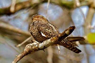 Nightjars & Oilbirds