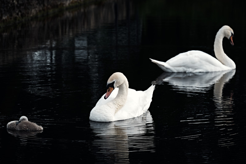 Swans_Of_Castletown024.jpg