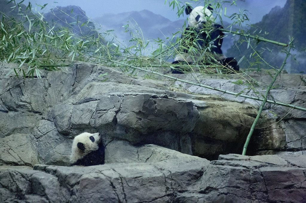 . Giant panda bear cub Bao Bao (L) and her mother Mei Xiang move around inside the David M. Rubenstein Family Giant Panda Habitat at the Smithsonian National Zoological Park January 6, 2014 in Washington, DC. Born August 23, 2013, and weighing nearly 17 pounds, Bao Bao will make her public debut at the zoo on January 18.  (Photo by Chip Somodevilla/Getty Images)