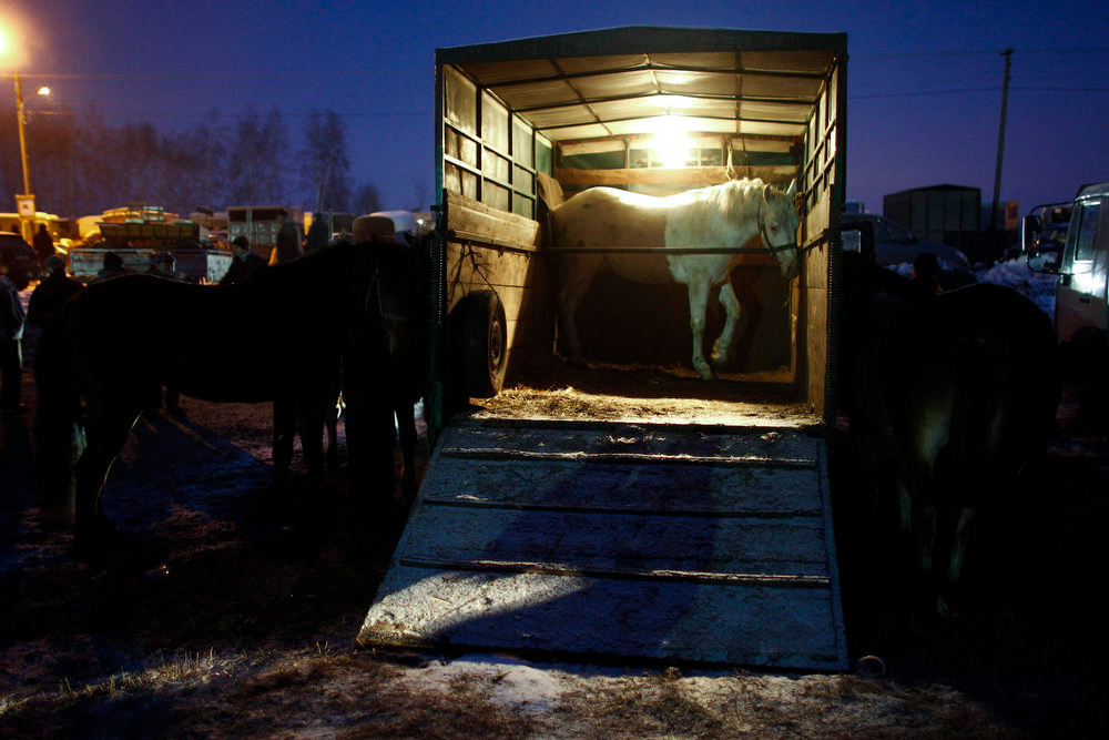 Description of . Horses stand near a truck during the early morning hours at the Skaryszew horse fair on February 18, 2013.  Polish animal rights campaigners heckled traders at one of Europe\'s biggest horse-trading fairs on Monday to try to prevent them from selling the animals for meat. Horse breeders have been coming to the open-air fair on the same day every year for the past three centuries, but the tradition is under pressure from activists and, this year, from concern about the Europe-wide trade in horse meat. REUTERS/Peter Andrews