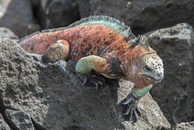 Marine Iguana at Floreana, Galapagos, Ecuador (11-22-2011) - 349.jpg