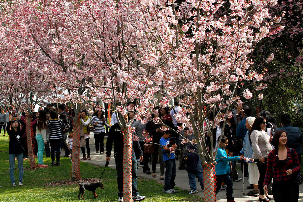 . People take pictures and walk under the Cherry Blossom trees, during the Cherry Blossom Festival, at Schabarum Park in Rowland Heights, Saturday, March 9, 2013. The Cherry Blossom Festival included Japanese and Korean drumming, Classical Chinese and Hawaiian Hula dancing, as well as Mexican and Dragon dancing. (Correspondent Photo by James Carbone/SVCITY)
