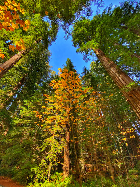 Fall colors in the Redwoods.