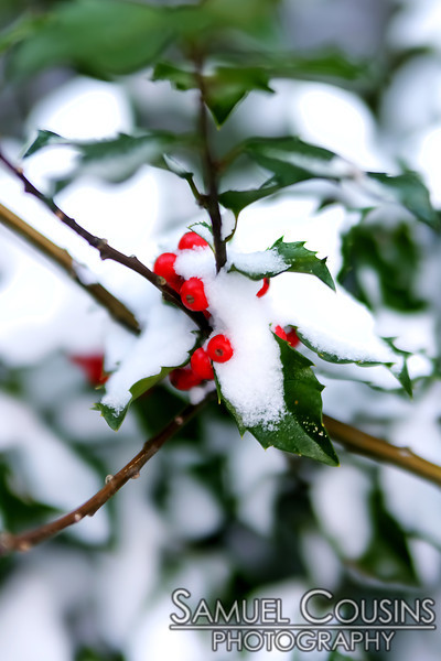 Berries still on a branch after a heavy snow.