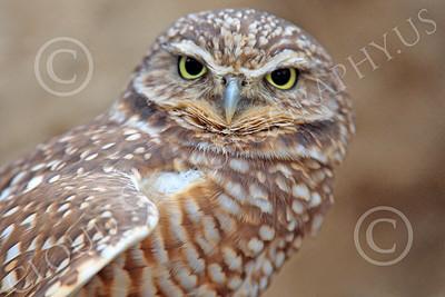 Burrowing Owl Wildlife Photography