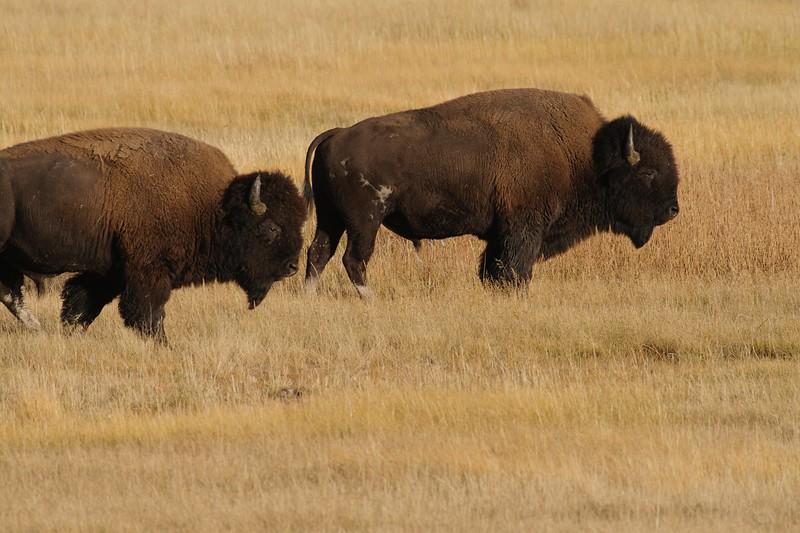 Bison pair Yellowstone _MG_4515.jpg