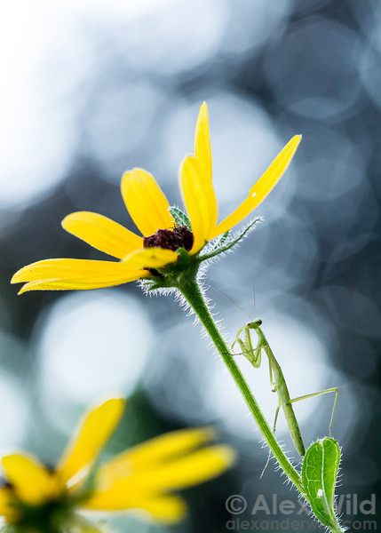 A young Tenodera sinensis mantis nymph lurks among the black-eyed susans in an Illinois prairie.