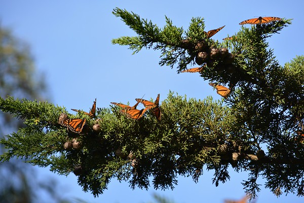 Monarchs at Lighthouse Field....