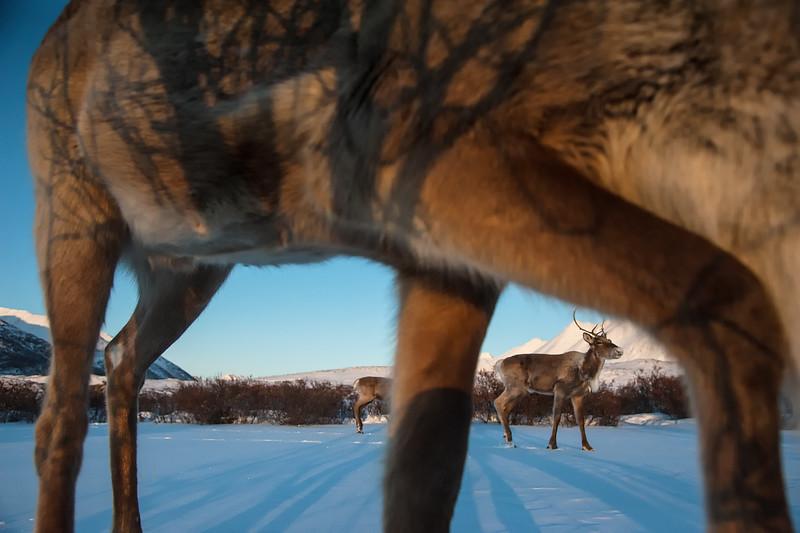 Porcupine Caribou0001.jpg