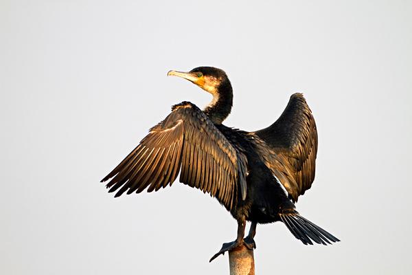 Waterbirds & Seabirds-עופות מיים אפריקאים