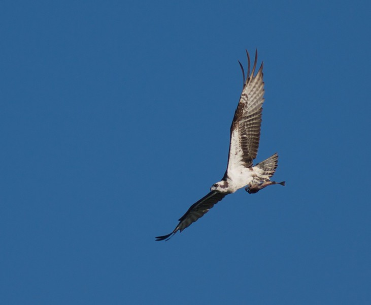Osprey with fish Ditchbanks Fond du Lac State Forest Carlton Co MN IMG_3718.jpg