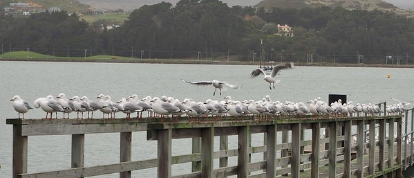 Seagulls at Titahi Bay