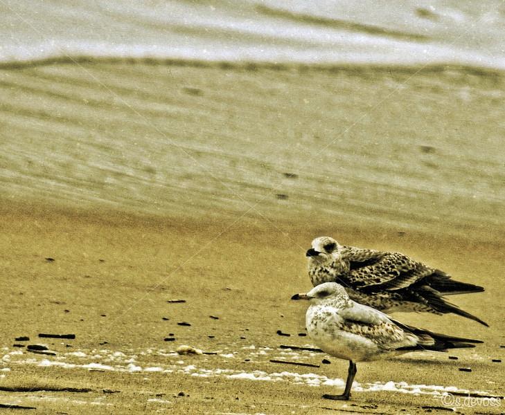 beachseagulls2_0064HDR Wmark.JPG