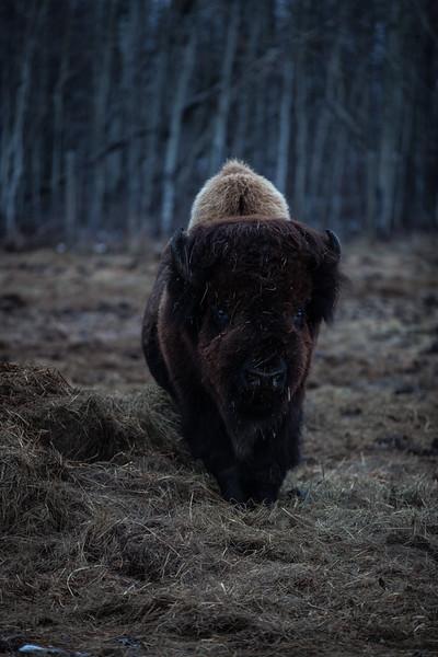 AHP171212_buffalo1418.jpg