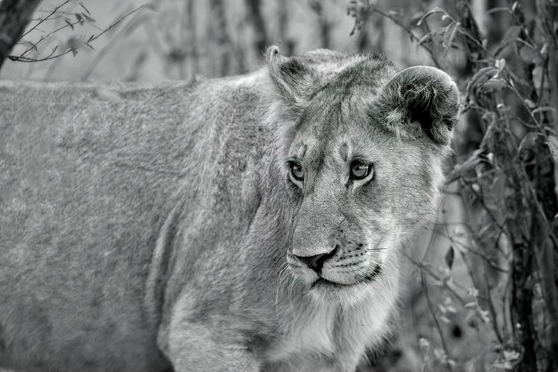 Lion _MG_9223b.jpg