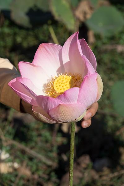 Lotus flower in the fields