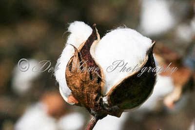 Farming Cotton