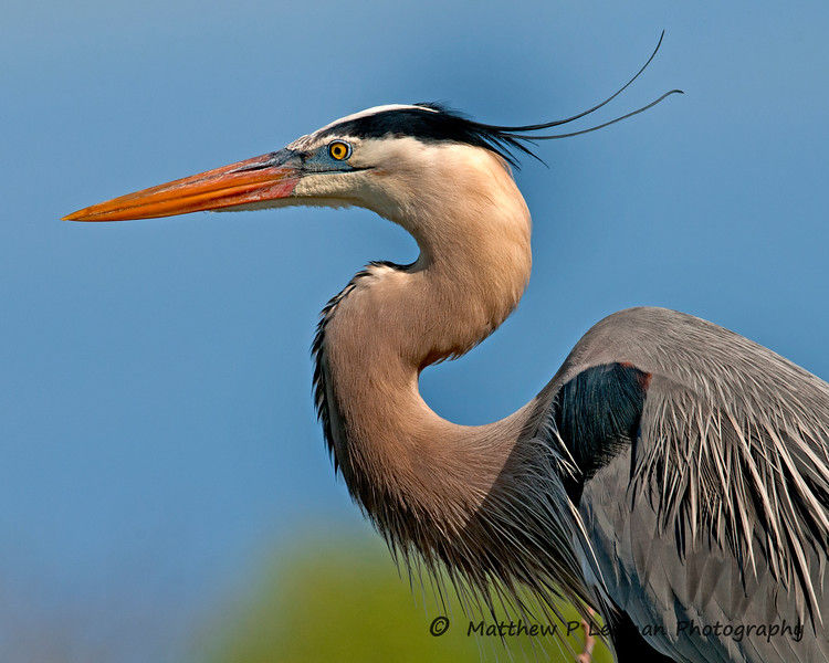 Great Blue Heron_6480.jpg