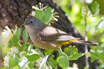 Warbler, Colima