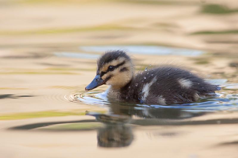Mallard - Chick - Sunnyvale, CA, USA