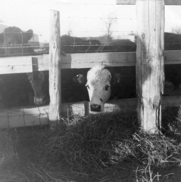 AR073.  Lako – Burgum feeders – cow.jpg