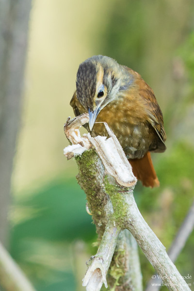 Scaly-throated Foliage-gleaner
