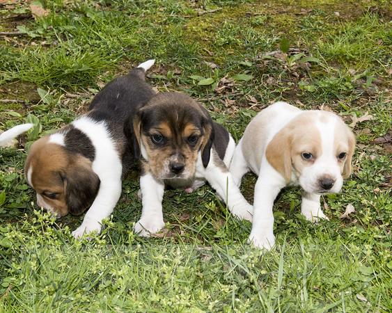N-T Beagle Pup Naming Party 4-27-18