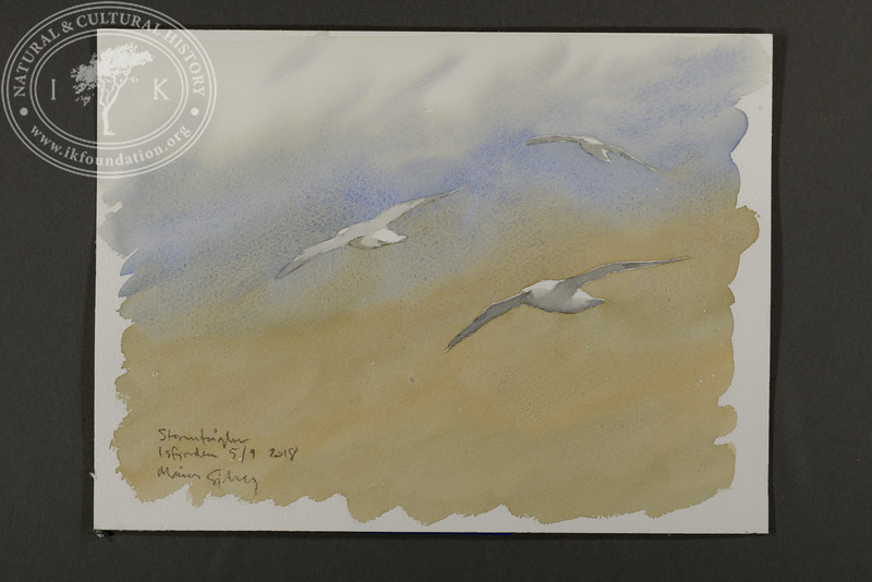 """Fulmars foraging around the vessel   5.9.2018   """"I want to convey what I see with immediacy and simplicity to make the viewer feel present on the Arctic scene.""""   Måns Sjöberg."""