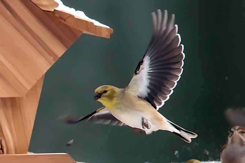 American Goldfinch in flight.