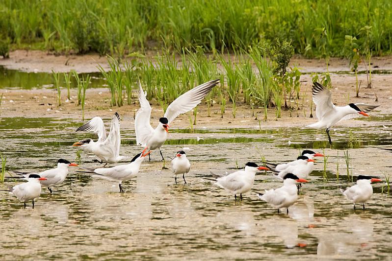 DSC_4346-Caspian Terns.jpg