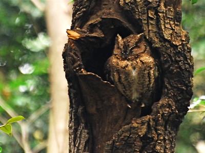 Japanese Scops-Owl (Otus semitorques)