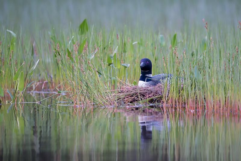 #761 Common Loon Nest