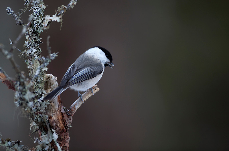 Willow Tit Norway 1.jpg