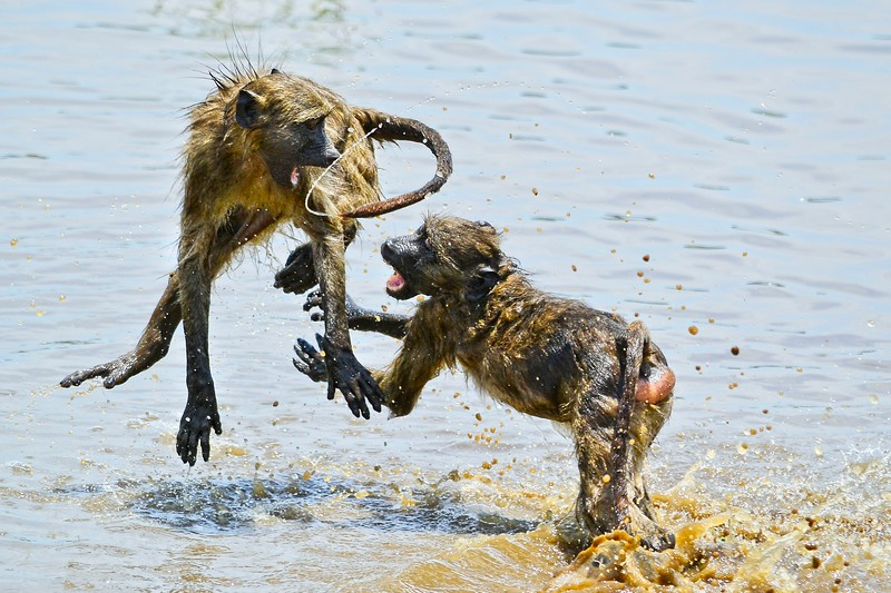 Chacma Baboon Fighting 2.jpg